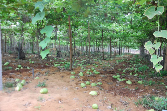 Giá su su rớt thê thảm, người dân không buồn thu hoạch nên rụng đầy vườn.