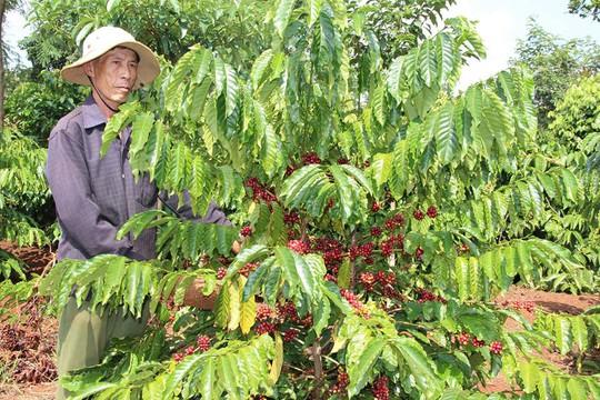 Hàng ngàn ha cà phê ở Tây Nguyên cần được tái canh để nâng cao năng suất, chất lượng Ảnh: CAO NGUYÊN