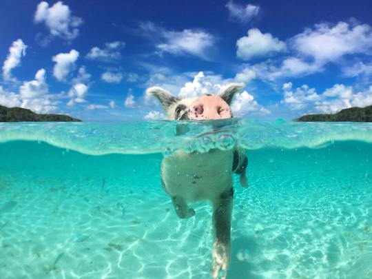 Lơn biết bơi trên đảo Big Major Cay là một trong những yếu tố thu hút khách du lịch. Ảnh: Independent