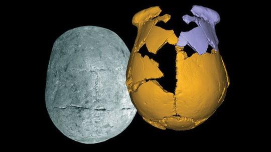 Những mảnh xương sọ hóa thạch (vàng) của các hộp sọ được tìm thấy ở Trung Quốc đã được lắp ghép lại và tái tạo bằng hình ảnh đối xứng (phần màu tím) để các chuyên gia nghiên cứu. Ảnh: AAAS