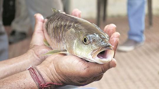 Ăn cá tươi roi rói tốt hơn hay ăn cá đã chết? - Ảnh 1.