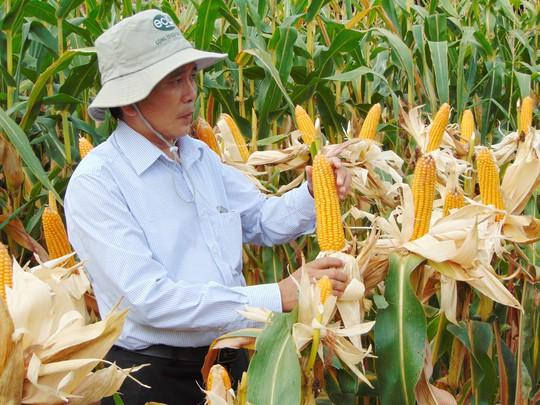 """Nông dân chuyển đổi từ lúa sang bắp sẽ được """"thưởng"""" - Ảnh 5."""