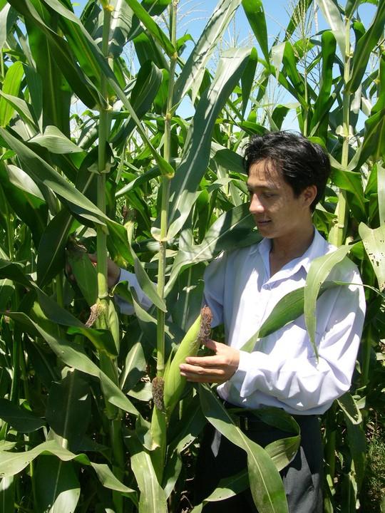 """Nông dân chuyển đổi từ lúa sang bắp sẽ được """"thưởng"""" - Ảnh 4."""