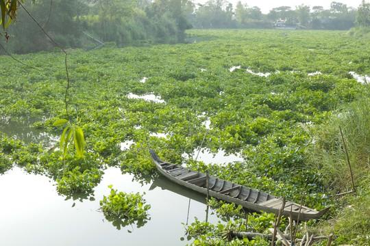 Vài năm trở lại đây, mật độ lục bình trôi về rất nhiều từ thường nguồn Campuchia