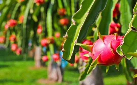 Quy mô trái cây của HAGL lớn đến mức nào? - Ảnh 3.