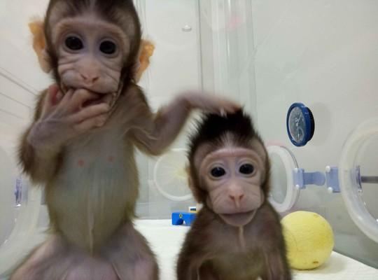 Nhân bản vô tính: Sau khỉ là con người? - Ảnh 1.