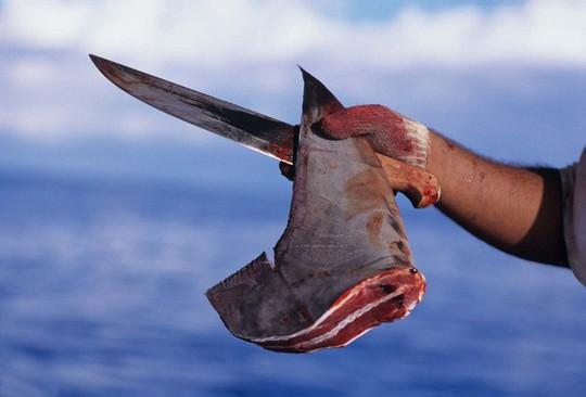 Vi cá mập có gì mà đắt tiền, được thế giới săn lùng tới vậy? - Ảnh 1.
