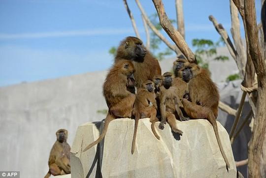 Vườn thú phong tỏa khẩn cấp vì 52 con khỉ đầu chó sổng chuồng - Ảnh 2.