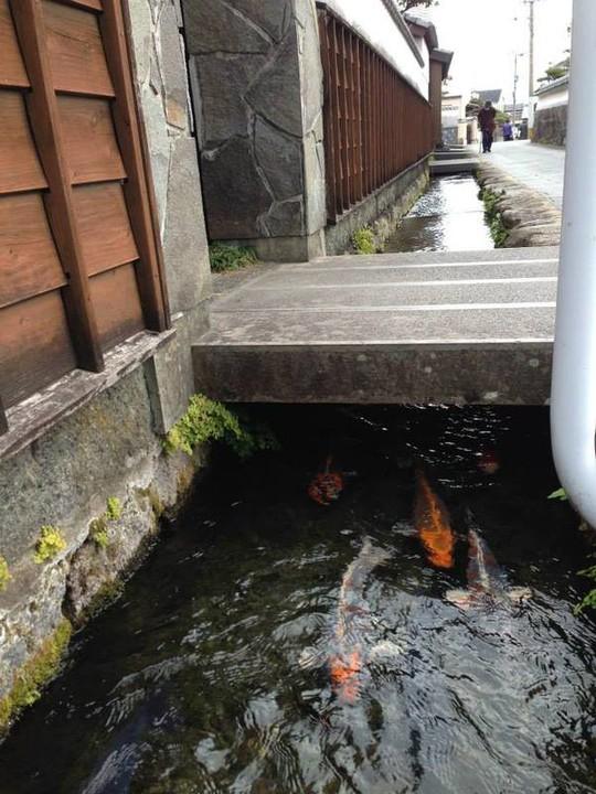 Du khách ngạc nhiên khi thấy cá koi sống dưới rãnh nước ở ngôi làng Nhật Bản - Ảnh 2.