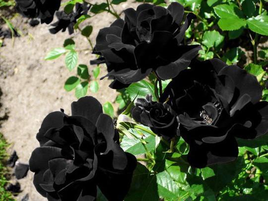 Hoa hồng đen nửa triệu đồng/bông vẫn hút khách dịp 20/10 - Ảnh 2.
