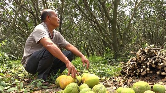 Bưởi Năm Roi chết rụng trái đầy vườn, dân khóc ròng bán 1.500 đồng/kg để làm nem - Ảnh 6.