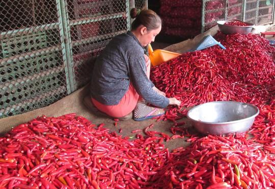 Malaysia dừng nhập khẩu ớt từ Việt Nam - Ảnh 1.
