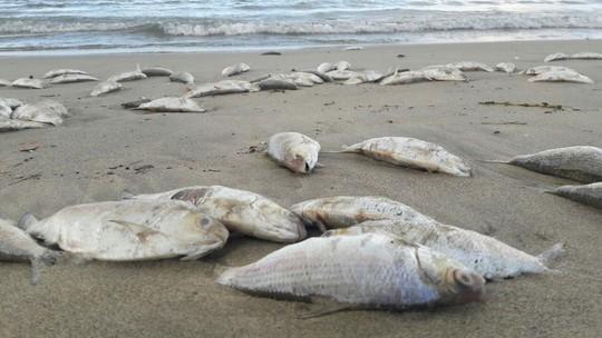 Truy tìm nguyên nhân cá chết đầy biển Đà Nẵng - Ảnh 1.