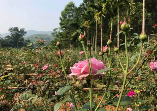 Trà hoa hồng nguyên bông 10 triệu đồng/kg, làm ra không đủ bán - Ảnh 1.