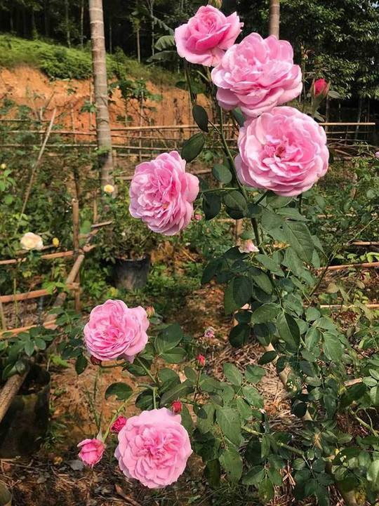 Trà hoa hồng nguyên bông 10 triệu đồng/kg, làm ra không đủ bán - Ảnh 2.