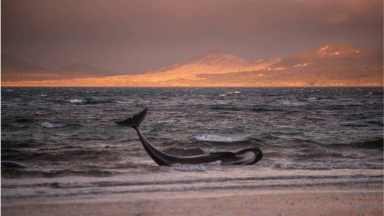 Nước mắt 145 con cá voi chết trên bờ biển New Zealand - Ảnh 2.