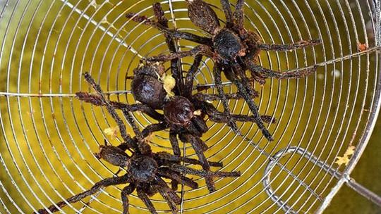 Rùng mình món nhện rừng đặc sản ở Bình Thuận - Ảnh 8.