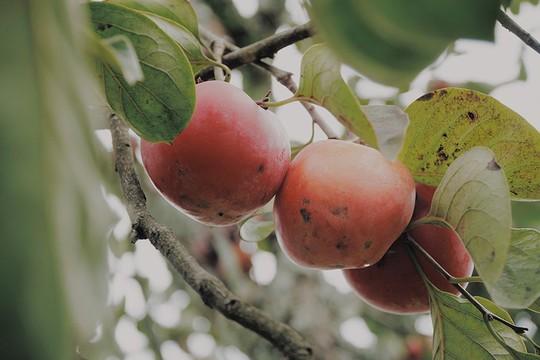 Ngắm vườn hồng trĩu quả giữa trời thu Đà Lạt - Ảnh 3.