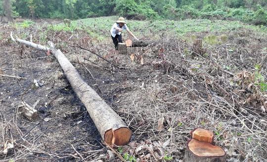 Phá rừng, chiếm đất trồng keo - Ảnh 1.