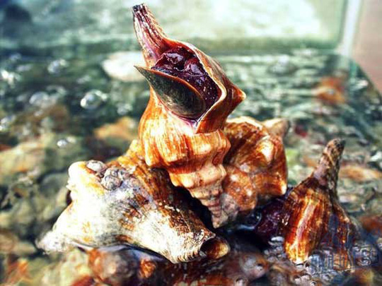 Điều đặc biệt ở ốc đỏ, nổi tiếng vùng biển phía Nam - Ảnh 6.