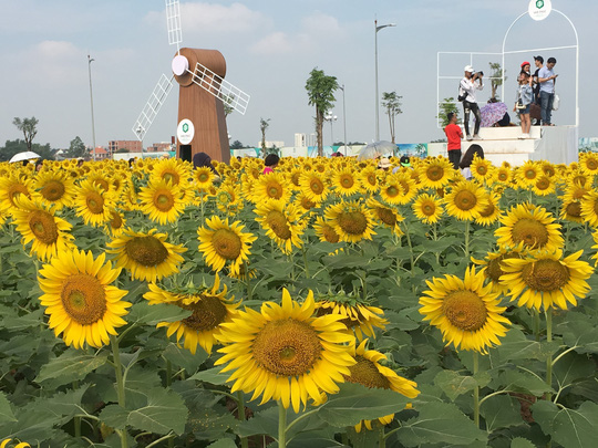 [VIDEO] - Nườm nượp đi xem cánh đồng hoa hướng dương ven sông Sài Gòn - Ảnh 16.