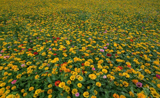 Bên trong thung lũng hoa lớn nhất Việt Nam - Ảnh 5.