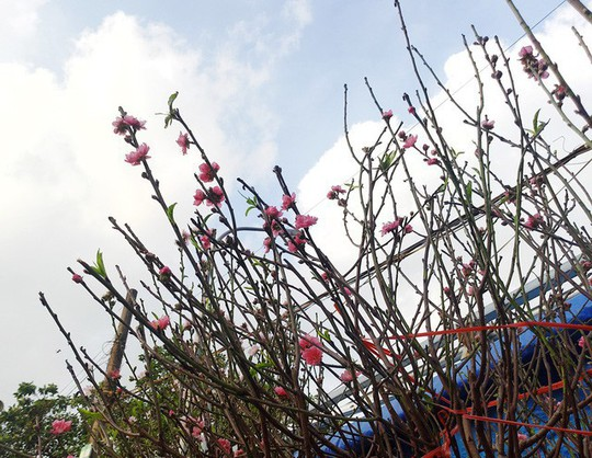 Chuyện lạ: Hoa đào bất ngờ bung nở rầm rộ, giá 200.000 đồng/cành - Ảnh 2.