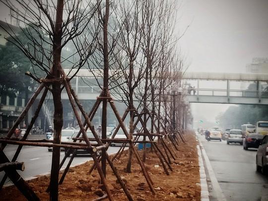 Hàng trăm cây phong lá đỏ được trồng giữa Thủ đô - Ảnh 5.