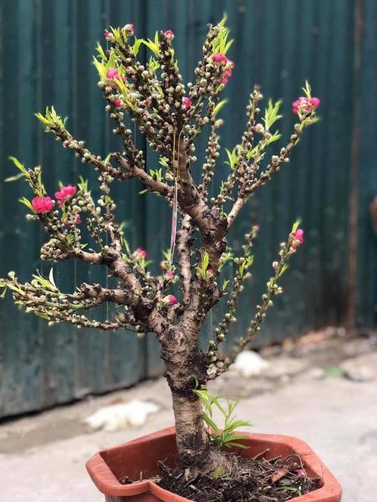 Đào thất thốn Trung Quốc đại náo thị trường cây cảnh - Ảnh 2.