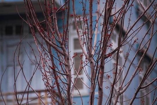 Hàng cây phong lá đỏ nảy lộc đón Tết giữa đường phố Thủ đô Địa ốc - Ảnh 2.