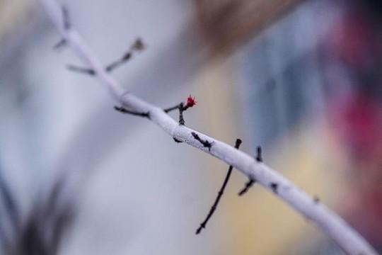 Hàng cây phong lá đỏ nảy lộc đón Tết giữa đường phố Thủ đô Địa ốc - Ảnh 6.