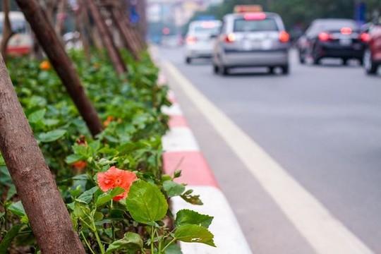 Hàng cây phong lá đỏ nảy lộc đón Tết giữa đường phố Thủ đô Địa ốc - Ảnh 9.