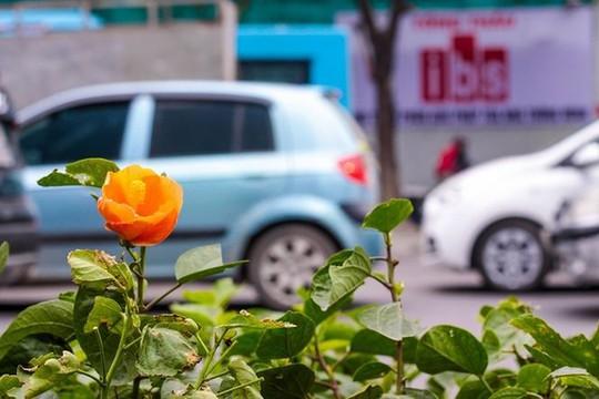 Hàng cây phong lá đỏ nảy lộc đón Tết giữa đường phố Thủ đô Địa ốc - Ảnh 10.