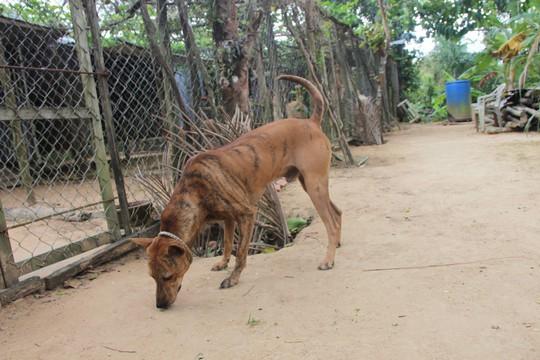 Chó xoáy - niềm tự hào của người dân Phú Quốc - Ảnh 2.
