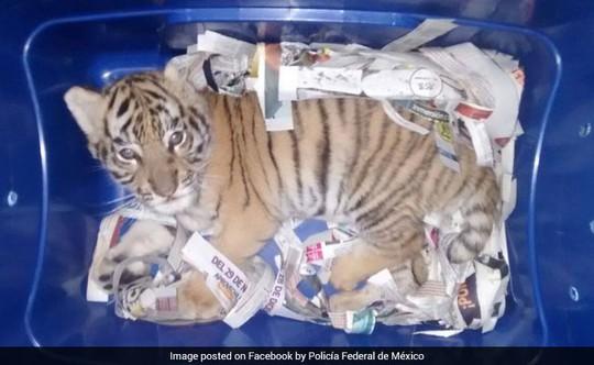 Gửi chuyển phát nhanh... cả con hổ còn sống - Ảnh 1.