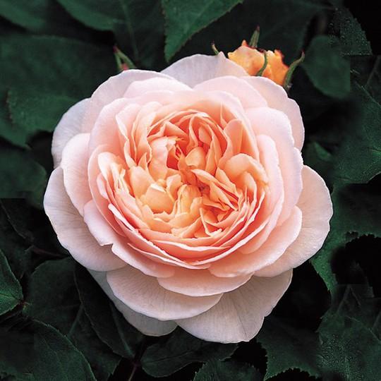Choáng với giá tiền của 6 loài hoa đắt nhất thế giới - Ảnh 3.
