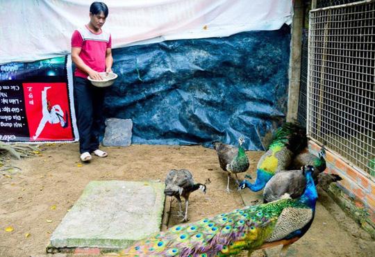 Chỉ từ 2 chú chim công, bất ngờ có thu nhập 200 triệu đồng/năm - Ảnh 1.