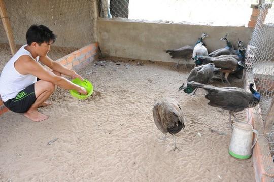 Chỉ từ 2 chú chim công, bất ngờ có thu nhập 200 triệu đồng/năm - Ảnh 3.