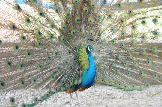 Chỉ từ 2 chú chim công, bất ngờ có thu nhập 200 triệu đồng/năm - Ảnh 4.