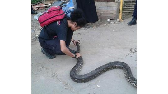Sống chung với rắn ở Jakarta - Ảnh 1.
