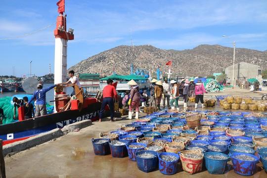 Ngư dân Ninh Thuận trúng đậm cá cơm sau Tết - Ảnh 1.