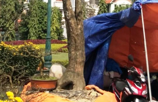 """Cây mai """"khủng"""" được đại gia Ninh Bình mua giá 180 triệu đồng - Ảnh 3."""