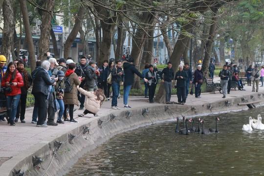 Đã bắt toàn bộ thiên nga thả ở Hồ Gươm - Ảnh 2.
