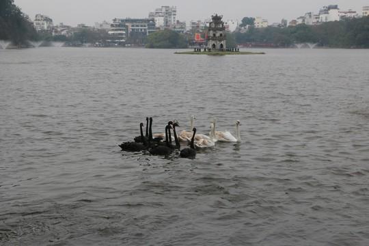 Đã bắt toàn bộ thiên nga thả ở Hồ Gươm - Ảnh 3.