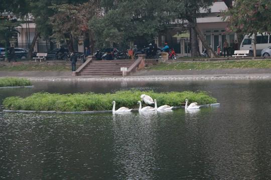 GS Lê Văn Lan: Thả thiên nga ở Hồ Gươm là rất thuận, hợp lí - Ảnh 3.