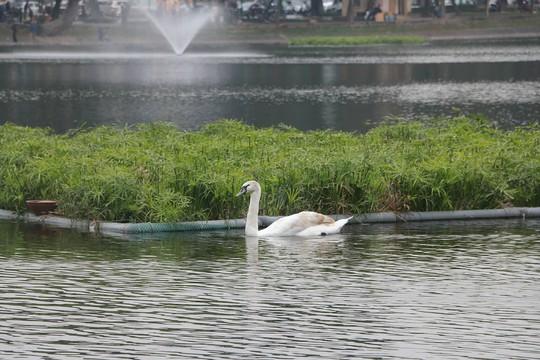 GS Lê Văn Lan: Thả thiên nga ở Hồ Gươm là rất thuận, hợp lí - Ảnh 9.