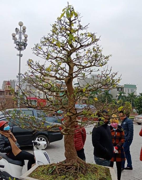 """Cây mai """"khủng"""" được đại gia Ninh Bình mua giá 180 triệu đồng - Ảnh 5."""
