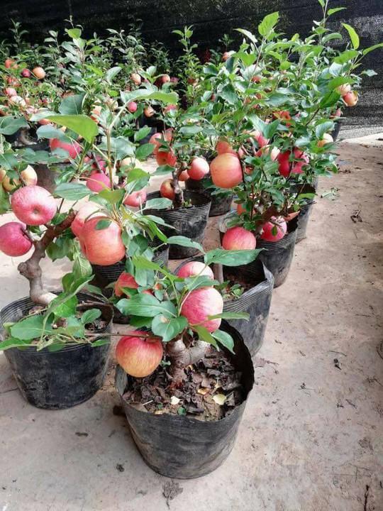 Sự thật không ngờ về táo đỏ Trung Quốc trưng Tết - Ảnh 2.