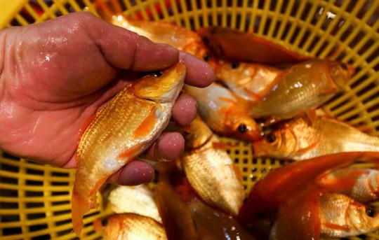 Nhộn nhịp mua cá chép lúc nửa đêm ở chợ lớn nhất Sài Gòn - Ảnh 1.