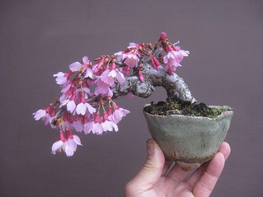 15 chậu bonsai mini siêu đẹp trang trí nhà dịp Tết  - Ảnh 1.